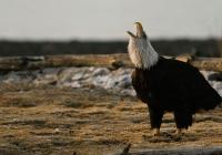 Howling Eagle